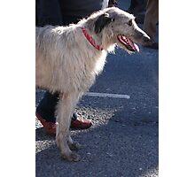 St Patricks Day Irish Wolfhound Photographic Print