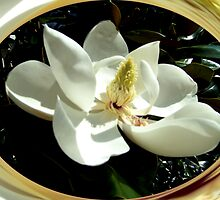 Magnolia by dmosher