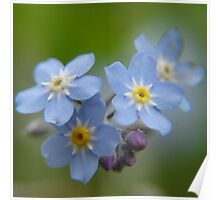 Close-up Forget Me Not - Blue Myosotis Poster
