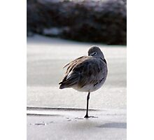 Peg Leg Willet Photographic Print