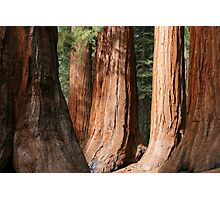 Mariposa Grove Photographic Print