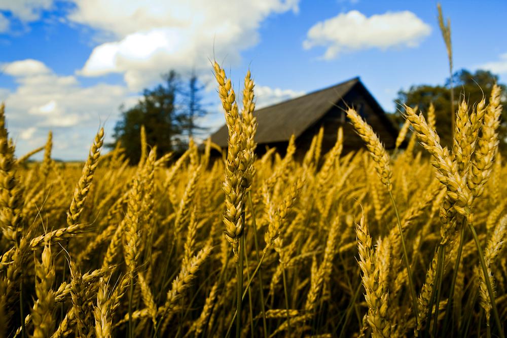 Wheat #2 by Csaba Jekkel