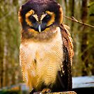 Asian Brown Wood Owl by Trevor Patterson