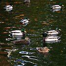 Canadian Ducks not in a row.... by Larry Llewellyn