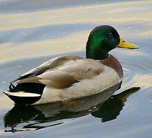Mr Duck..... looking for Mrs Duck by Larry Llewellyn