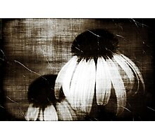 Echinacea Dark Dreams Photographic Print