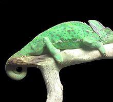 Resting Chameleon by sheeleyj