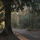 Sun break through coniferous wood by miradorpictures