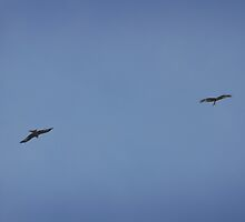 Red kite flight by miradorpictures