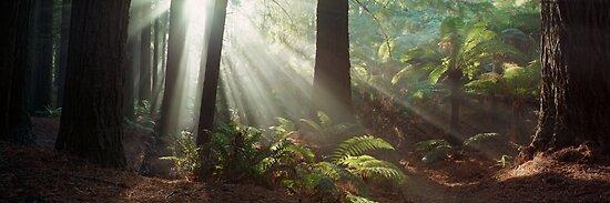 Redwood Forest | Otways | Victoria by Ben Messina