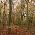 beech woods with deep yellow autumn hues by miradorpictures
