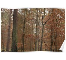 Beech trees in splendid fall color Poster