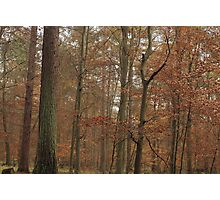 Beech trees in splendid fall color Photographic Print