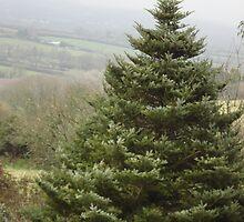 Fir Tree by Evelyn Smoldon