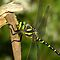Golden-Ringed Dragonfly by Neil Bygrave (NATURELENS)