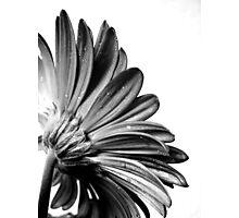 Gerbera Photographic Print