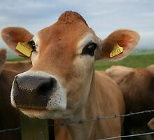 Maisy The Jersey Cow by Suzanne Forbes-Murray