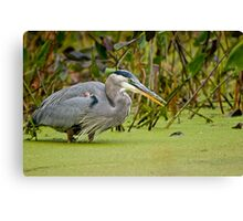 Blue Heron in Pond Canvas Print