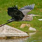 Blue Heron in Flight by Michael Cummings