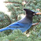 Stellar's Jay by Steve Hunter