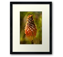 Kniphofia - Red Hot Poker Framed Print