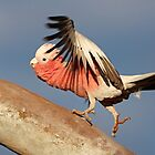 Galah ~ ♫♫ ♪ Lets do the time warp again ♪ ♪ ♬ by Robert Elliott