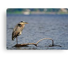 Adult Great Blue Heron - Ottawa, Ontario Canvas Print