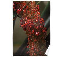 Birds Nest Anthurium Poster