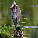 Blue Heron Preening - Ottawa, Ontario by Michael Cummings
