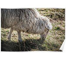 Sheep Grazing at Stonehenge Poster