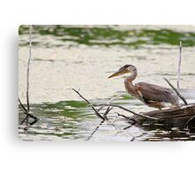 Baby Blue Heron on log - Ontario, Canada Canvas Print
