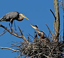 Great Blue Heron with Babies - Ottawa, Ontario by Michael Cummings