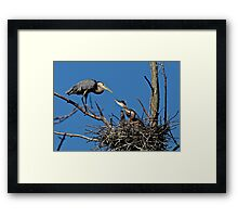 Great Blue Heron with Babies - Ottawa, Ontario Framed Print
