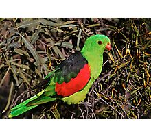 Red-winged Parrot Photographic Print