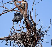 Great Blue Heron Couple - Kempville, Ontario by Michael Cummings
