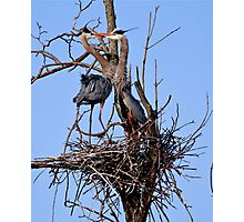 Great Blue Heron Couple - Kempville, Ontario Photographic Print