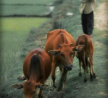 3 Cows by wellman