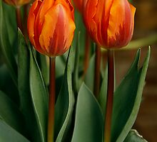 Tulips In a Row by Jonicool