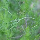 Fennel weed by Maree  Clarkson