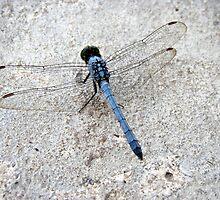 Blue Dragonfly    by Wanda  Mascari