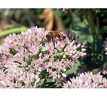 Cute Honeybee          Photographic Print