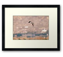Northern Shoveler - Flight Framed Print