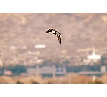 Northern Shoveler - Flight Photographic Print