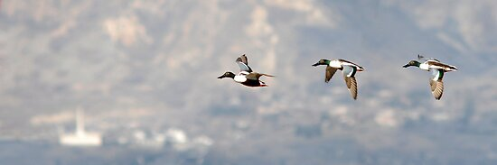 Northern Shoveler - Flight Sequence by Ryan Houston