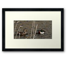 Northern Shoveler - Swimming Framed Print