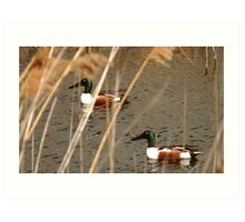 Male Northern Shovelers Art Print