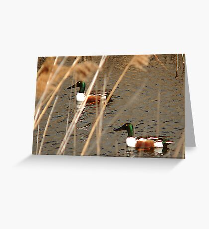 Male Northern Shovelers Greeting Card