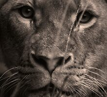 Lioness by rosswoodphoto