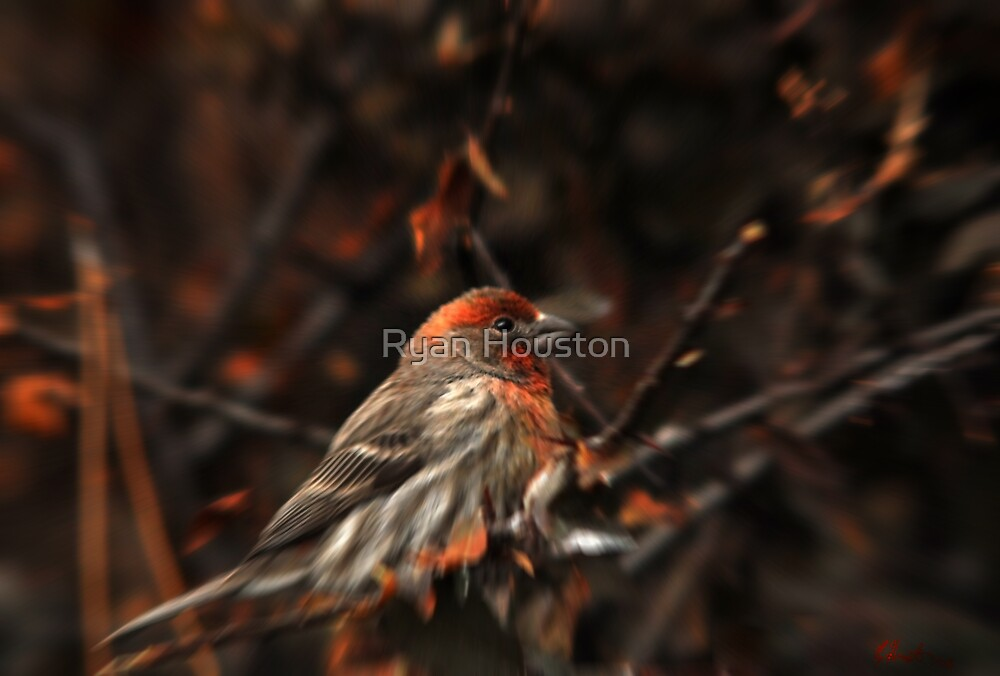 House Finch & Red Leaves by Ryan Houston