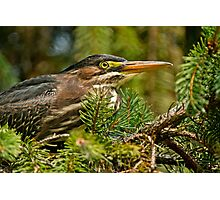 Green Heron Photographic Print
